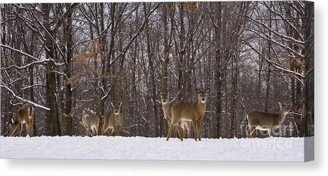 Deer Canvas Print featuring the photograph White Tailed Deer by Anthony Sacco
