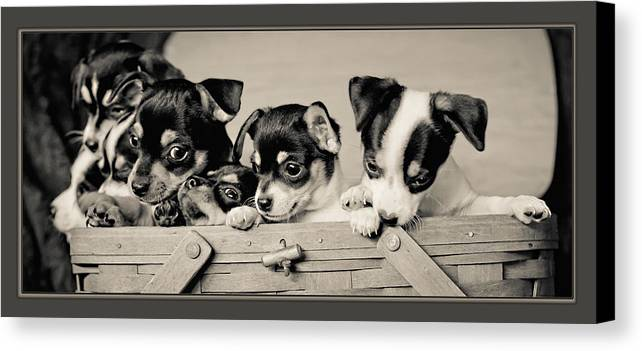 Canine Canvas Print featuring the photograph Basket Of Chi by Kristi Swift