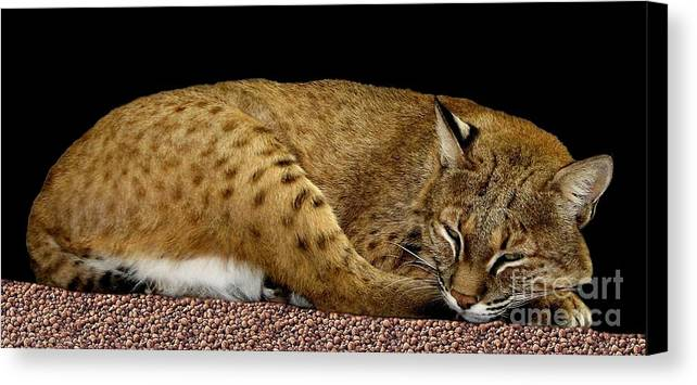 Bobcats Canvas Print featuring the photograph Bobcat by Rose Santuci-Sofranko