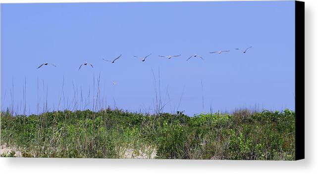 Pelican Canvas Print featuring the photograph Pelicans In A Row 10 by Cathy Lindsey