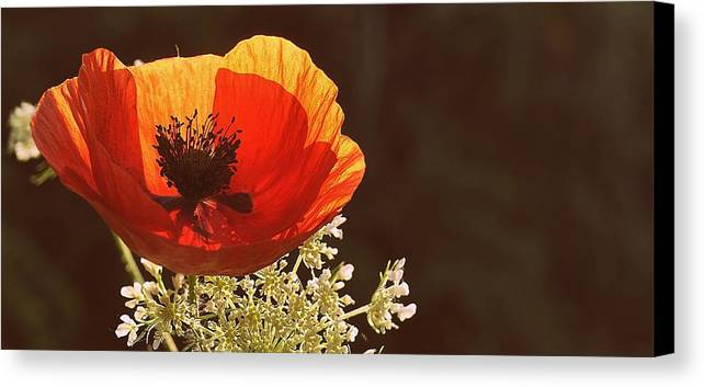Flower Canvas Print featuring the photograph Poppy And Lace by Marysue Ryan