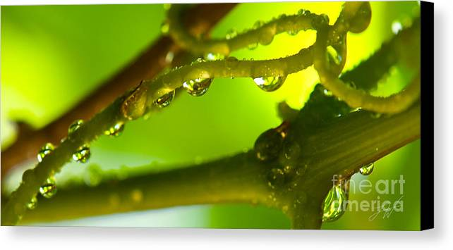 Vineyard Canvas Print featuring the photograph The Vineyard After The Rain by Artist and Photographer Laura Wrede