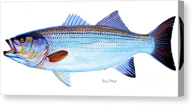 Striped Bass Canvas Print featuring the painting Striped Bass by Carey Chen