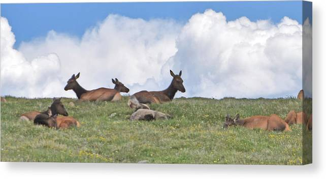Elk Canvas Print featuring the photograph Nap Time by Linda Benoit
