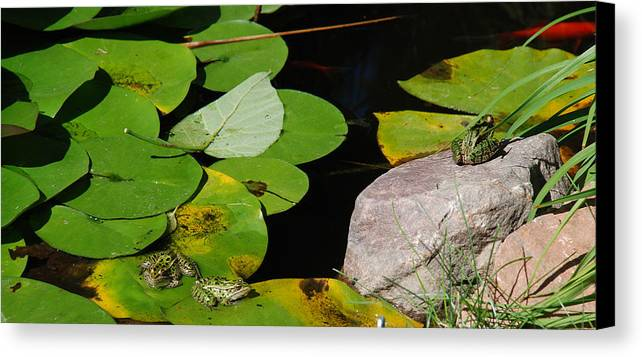 Frogs; Leopard Frogs; Leopard Frog; Northern Leopard Frog; Pond; Lilypad; Lily Pad; Canvas Print featuring the photograph A Place For Everyone by Janice Adomeit