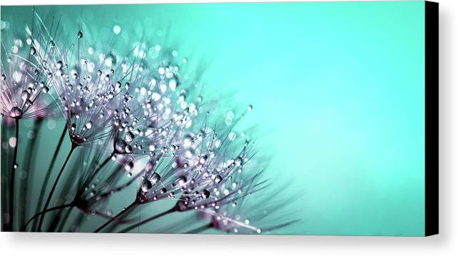 Dandelion Canvas Print Featuring The Photograph Raindrops   Dandelion Art  Photography By Wall Art Prints
