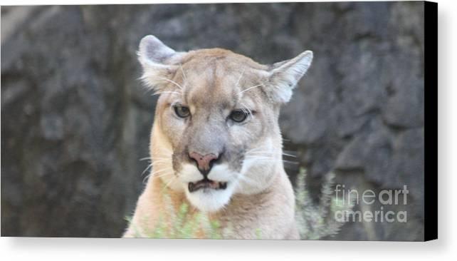 Puma Head Shot Canvas Print featuring the photograph Puma Head Shot by John Telfer
