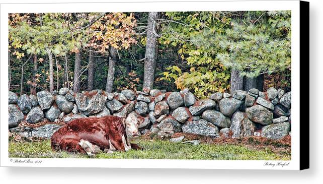 Hereford Canvas Print featuring the photograph Resting Hereford by Richard Bean