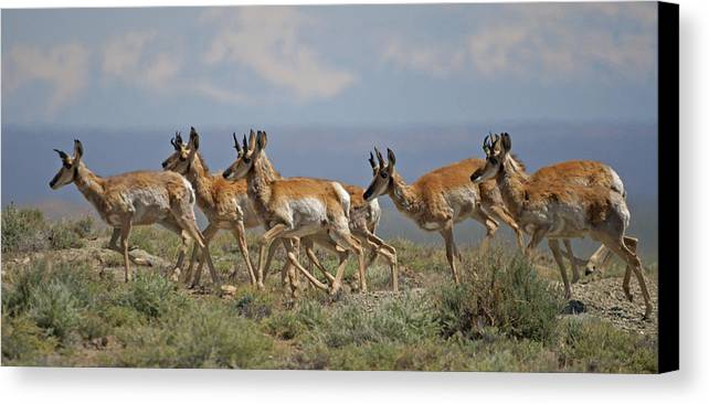 Pronghorn Canvas Print featuring the photograph Pronghorn Antelope Running by Heather Coen