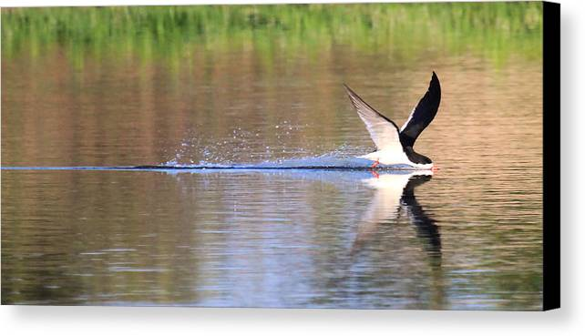 Black Skimmer Prints Canvas Print featuring the photograph Black Skimmer by Paul Marto