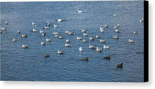 Cygnus Olor Canvas Print featuring the photograph Birds On The Water by Gabriela Insuratelu