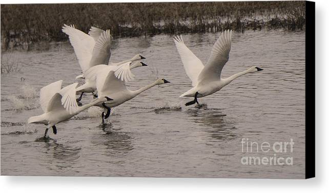 Swan Canvas Print featuring the photograph Tundra Swans Take Off by Bob Christopher