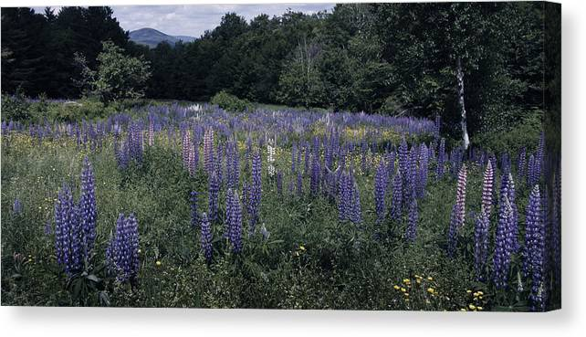 Sugar Canvas Print featuring the photograph Lupin Field by Bruce Woodruff