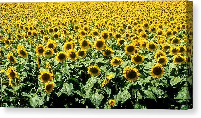 France Canvas Print featuring the photograph Sunflowers by Matthew Pace