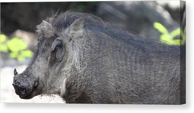 Animal Canvas Print featuring the photograph Warthog by Mary Haber
