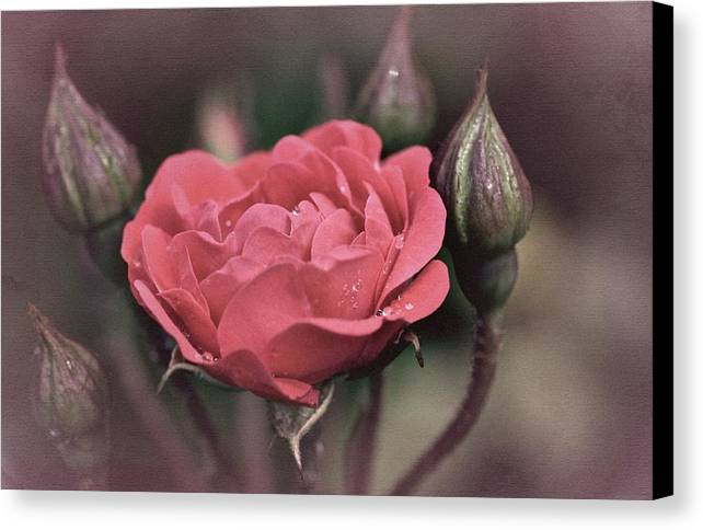 Rose Canvas Print featuring the photograph Vintage Rose No. 4 by Richard Cummings