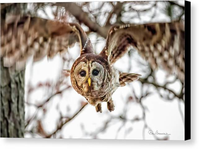 Owl Canvas Print featuring the photograph Barred Owl In Flight 4830 by Dan Beauvais