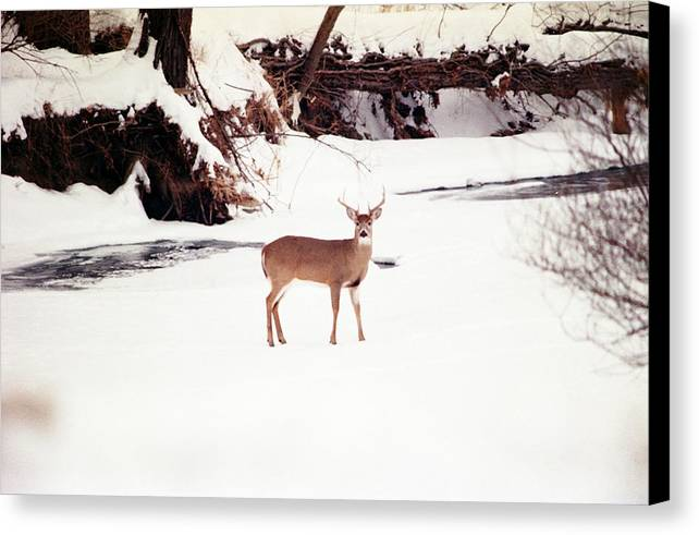 Whitetail Deer Canvas Print featuring the photograph 080706-89 by Mike Davis