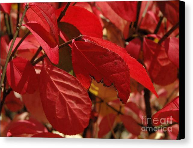 Leaves Canvas Print featuring the photograph Red Light by Trish Hale