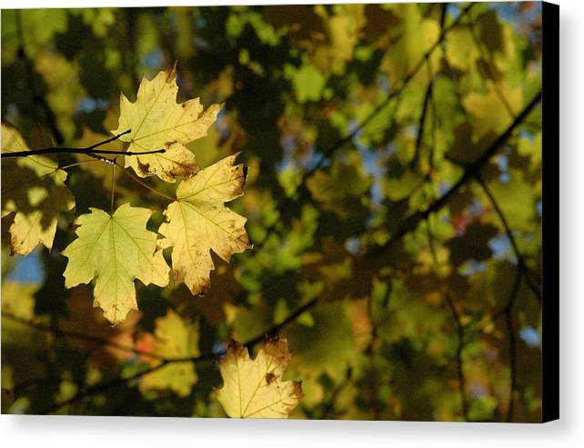 Yellow. Leaves Canvas Print featuring the photograph Golden Morning by Trish Hale