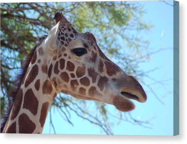 Giraffe Canvas Print featuring the photograph Giraffe 5 by Susan Heller