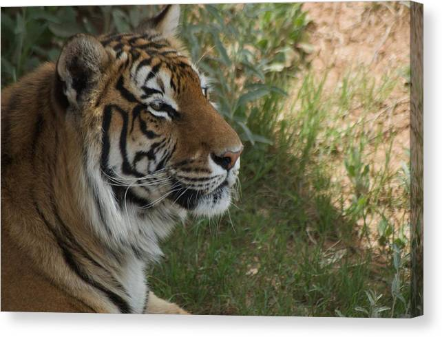 Bengal Canvas Print featuring the photograph Tiger I by Susan Heller