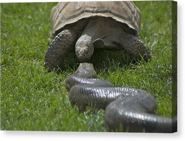 Kissing Canvas Print featuring the photograph Tortoise Kissing An Anaconda by Susan Heller