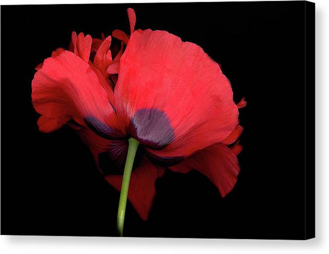 Red Poppy Canvas Print featuring the digital art Red Poppy by Sandi F Hutchins