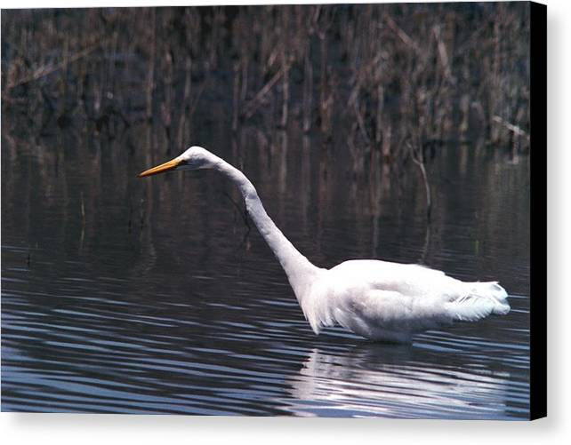 Great Egret Canvas Print featuring the photograph 070406-8 by Mike Davis