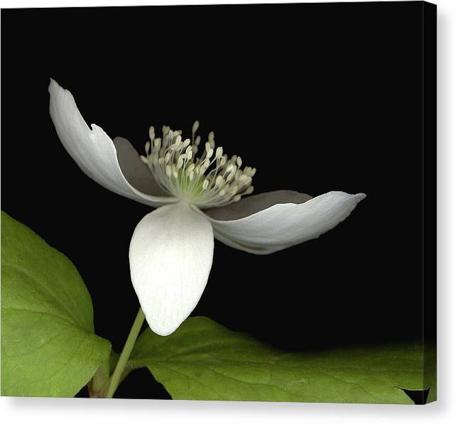 Canvas Print featuring the photograph Little White by Sandi F Hutchins