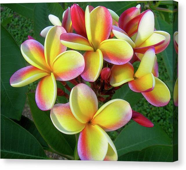 Plumeria Canvas Print featuring the photograph Candy Stripe Plumeria by James Temple