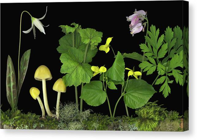 Pacific Northwest Native Species; Fawn Lily Canvas Print featuring the digital art Forest Floor by Sandi F Hutchins