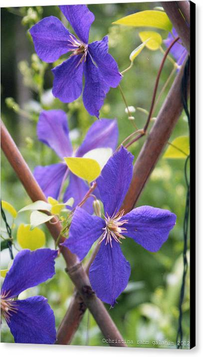 Purple Canvas Print featuring the photograph Purple Clematis Clinging On A Fence by Ingela Christina Rahm