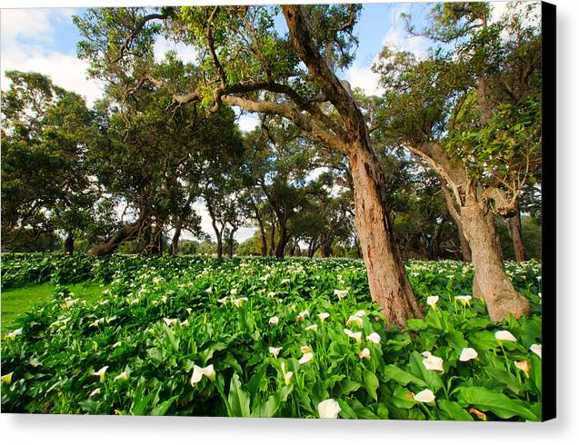 South Western Australia Canvas Print featuring the photograph Flower Field - South Western Australia by Daniel Carr