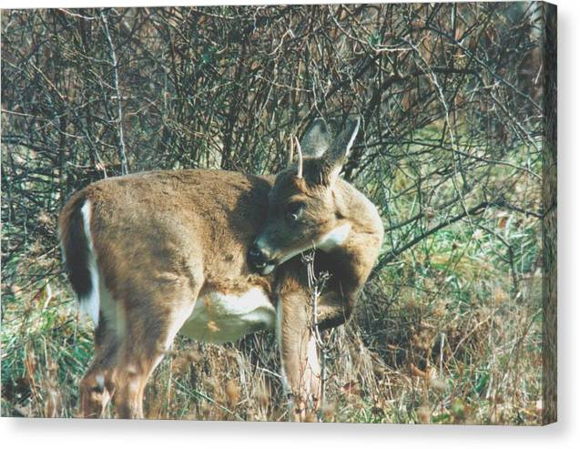 Deer Canvas Print featuring the photograph 080706-78 by Mike Davis