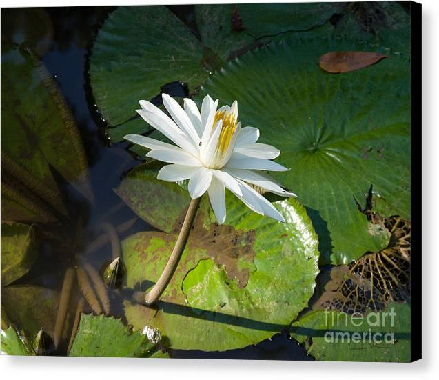 Victoria-regia Canvas Print featuring the photograph Victoria-regia Flower by Carlos Alvim