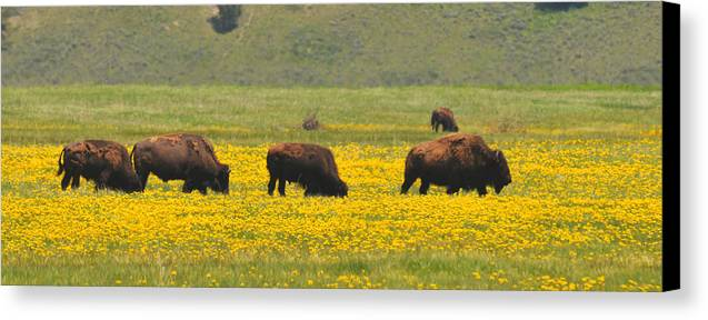 Bison Heard Canvas Print featuring the photograph Bison Herd by Alan Lenk
