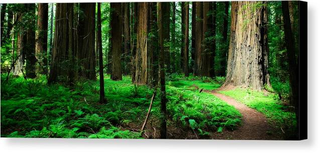 California Canvas Print featuring the photograph Redwood Path by Mark Hammon