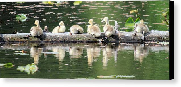 Cute Canvas Print featuring the photograph Cute Canadian Geese Chicks by Pierre Leclerc Photography