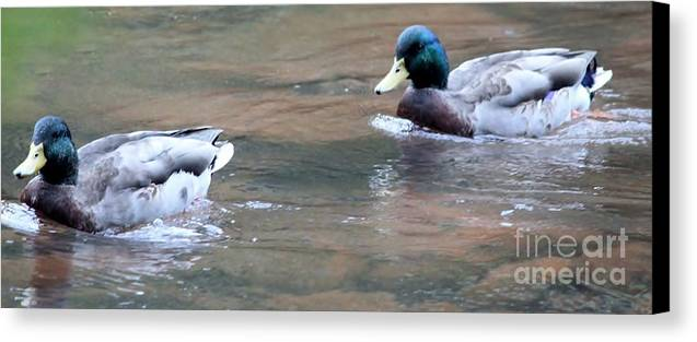 Ducks Canvas Print featuring the photograph Ducks by PC Leggett