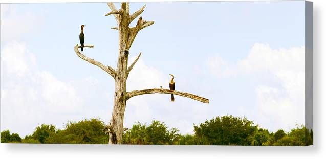 Photography Canvas Print featuring the photograph Low Angle View Of Cormorants by Panoramic Images
