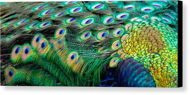 Canvas Print featuring the photograph Peacock by Brian Stevens