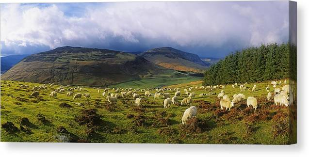 Co Wicklow Canvas Print featuring the photograph Flock Of Sheep Grazing In A Field by The Irish Image Collection