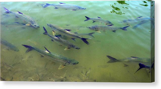 Fish Canvas Print featuring the photograph Tarpin by Jim Derks
