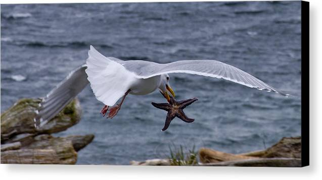 Seagull Canvas Print featuring the photograph Lunch Time by Chrissy Gibbs