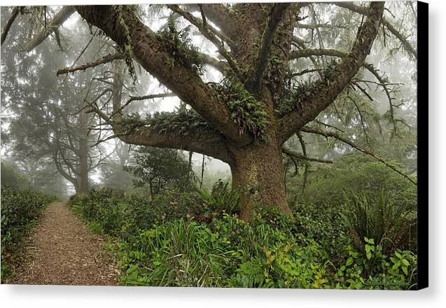 Fog Canvas Print featuring the photograph Spruce In Fog by Stephen Thompson