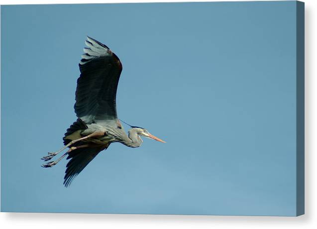 Great Blue Heron Canvas Print featuring the photograph 040210-46 by Mike Davis