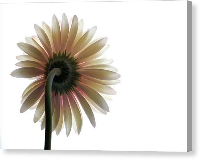 Flower Canvas Print featuring the photograph Gerber Daisy by Jessica Wakefield