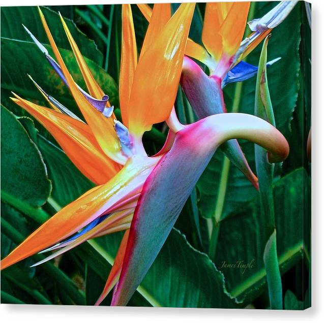 Bird Of Paradise Canvas Print featuring the photograph Intertwine by James Temple