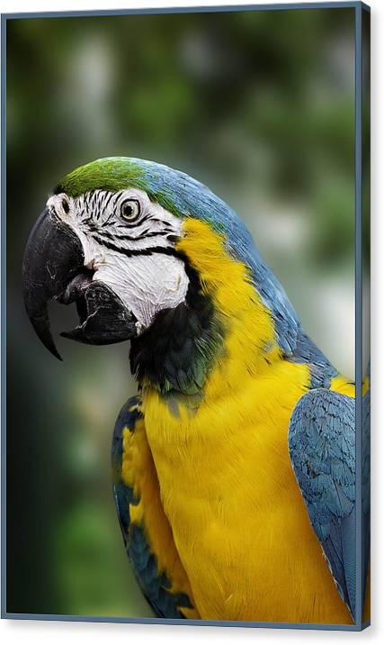 McCaw Parrot by Nancy Germer